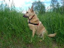De zitting van de hond in gras Stock Foto's
