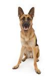 De Zitting van de Hond van de Duitse herder neer royalty-vrije stock afbeeldingen
