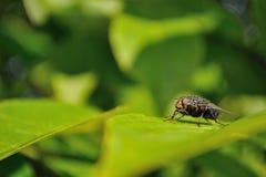 De zitting van de huisvlieg op groen blad Stock Afbeeldingen