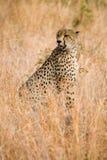 De zitting van de jachtluipaard in gras Royalty-vrije Stock Foto's