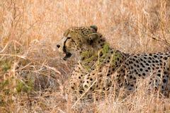 De zitting van de jachtluipaard in gras Royalty-vrije Stock Fotografie