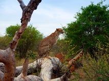 De zitting van de jachtluipaard op boom Stock Afbeeldingen