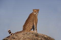 De zitting van de jachtluipaard op een rots Stock Fotografie