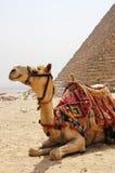 De zitting van de kameel naast een piramide in Giza Stock Afbeeldingen