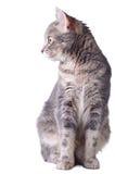 De zitting van de kat Stock Foto