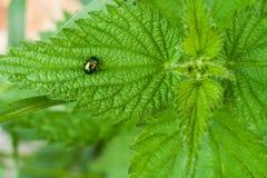 De zitting van de keverglimworm op groen blad van netel Stock Afbeeldingen