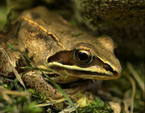 De zitting van de kikker in gras Royalty-vrije Stock Afbeelding