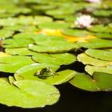 De zitting van de kikker op lotusbloembladeren Royalty-vrije Stock Fotografie