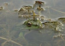 De zitting van de Kikker in Water Royalty-vrije Stock Afbeelding