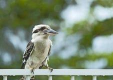 De Zitting van de kookaburra op een traliewerk Stock Foto