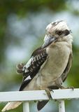 De Zitting van de kookaburra op een traliewerk Royalty-vrije Stock Afbeelding