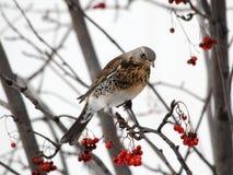 De zitting van de kramsvogel bij de lijsterbes Stock Foto