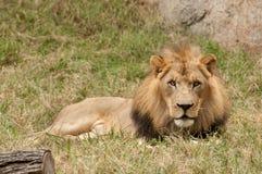 De zitting van de leeuw in gras Royalty-vrije Stock Afbeelding
