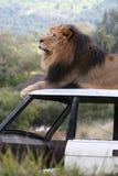 De zitting van de leeuw op een auto Royalty-vrije Stock Fotografie