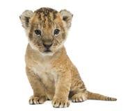 De zitting van de leeuwwelp, die de camera, 16 dagen oud, geïsoleerd o bekijken Royalty-vrije Stock Foto