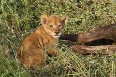 De zitting van de leeuwwelp naast een meest wildebeest doden in Serengeti Stock Afbeeldingen