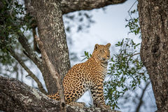De zitting van de luipaard in een boom stock foto's