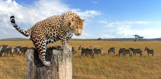 De zitting van de luipaard op een boom Royalty-vrije Stock Afbeelding