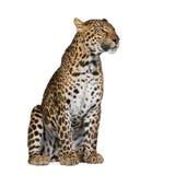 De zitting van de luipaard voor een witte achtergrond stock fotografie
