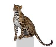 De zitting van de luipaard voor een witte achtergrond stock foto