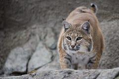 De zitting van de Lynx van het portret op een rots Royalty-vrije Stock Foto's