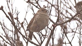 De zitting van de musvogel op de boom van de takaard stock footage