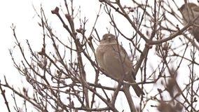 De zitting van de musvogel op een boom van de takaard stock videobeelden