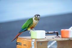De zitting van de papegaaivogel Stock Afbeeldingen