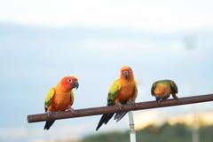 De zitting van de papegaaivogel op hout Stock Afbeelding