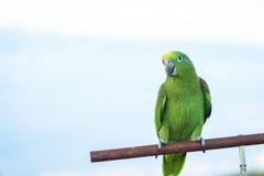 De zitting van de papegaaivogel op hout Royalty-vrije Stock Afbeeldingen