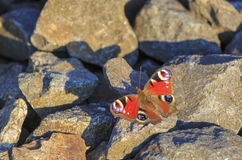 De zitting van de pauwvlinder op rotsen Stock Afbeeldingen