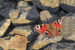De zitting van de pauwvlinder op rotsen Stock Foto