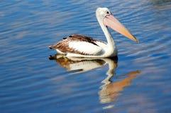 De zitting van de pelikaan op het Meer. Stock Afbeeldingen