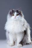 De zitting van de Perzische kat op grijze achtergrond Royalty-vrije Stock Foto