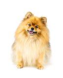 De zitting van de Pomeranianhond op de vloer op witte achtergrond wordt geïsoleerd die Royalty-vrije Stock Afbeelding