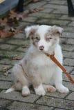 De zitting van de puppyhond op koude vloer Stock Foto's