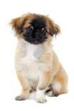 De zitting van de puppyhond op witte achtergrond Stock Foto's