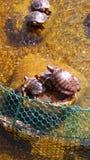 De zitting van de schildpaddenfamilie op de stenen door water onder de zonneschijn worden omringd die stock fotografie