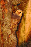 De zitting van de schuuruil op boomboomstam bij de avond met aardig die licht dichtbij het nestgat, vogel in de aardhabitat, in d Royalty-vrije Stock Foto's