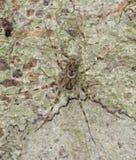 De zitting van de spin op goed gecamoufleerde boom. Royalty-vrije Stock Afbeelding