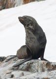 De zitting van de Verbinding van het bont op een rots op een skihelling. Royalty-vrije Stock Foto's