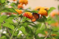 De zitting van de vlinder op een bloem stock afbeelding