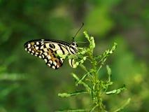 De zitting van de vlinder op een installatie Stock Fotografie