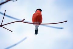 De zitting van de vogelgoudvink op een tak tegen de blauwe hemel Royalty-vrije Stock Foto's