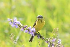 De zitting van de vogelkwikstaart op een tak met insect in zijn bek Royalty-vrije Stock Foto's