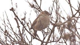 De zitting van de vogelmus op de tak van de aardboom stock videobeelden