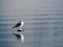 De zitting van de zeemeeuw in het midden van het meer Royalty-vrije Stock Foto's