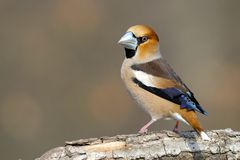 De zitting van Hawfinch op een lidmaat royalty-vrije stock foto