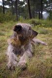 De zitting van de herdershond in het bos stock foto