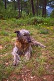 De zitting van de herdershond in het bos stock foto's